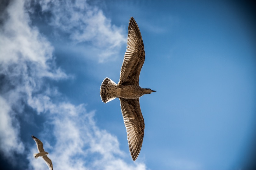 sea-gull-bird-sky-nature